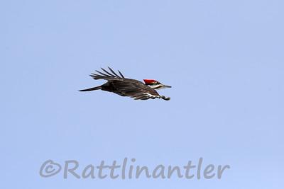Pileated Woodpecker - ♀