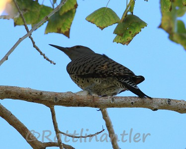 Red-Shafted Flickers