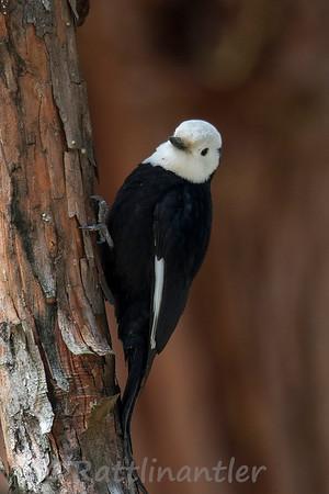White-Headed Woodpeckers
