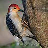 Red Bellied Woodpecker (male)