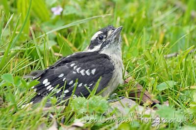 Downy Woodpecker Chick