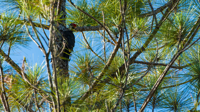 There He Is - Pileated Woodpecker