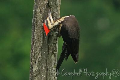 Pileated Woodpecker (female)