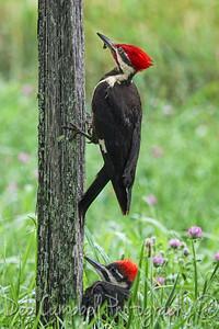 Woodpecker dad with Junior