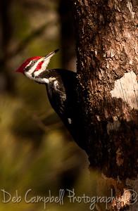 Male Pileated Woodpecker Cades Cove GSMNP