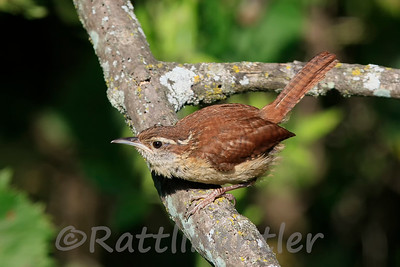 Carolina Wren with Prey