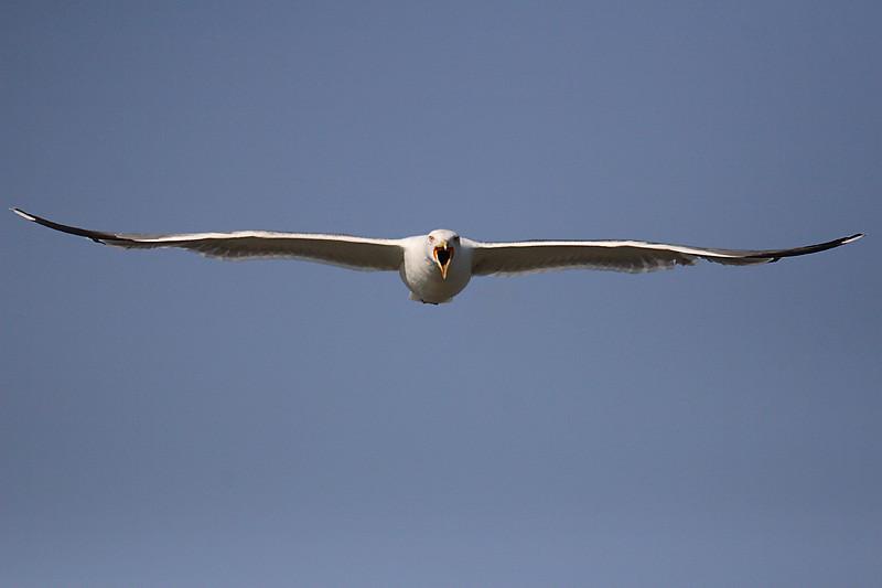 Yellow-legged Gull diving against me. Gaviota patiamarilla picando hacia el fotógrafo para arrearle un picotazo, Puerto Real