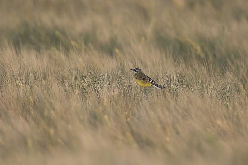 Yellow wagtail and wheat