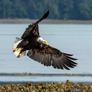 Bald eagle along the Hood Canal near Seabeck, Washington.