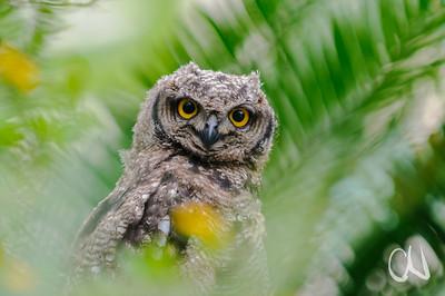 Spotted Eagle-Owl, Fleckenuhu, Bubo africanus, Jungtier, Eshowe, KwaZulu-Natal, South Africa, Südafrika