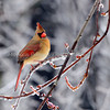 A young female cardinal in an icy winter.