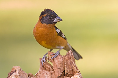 Portrait of a Black-headed Grosbeak II