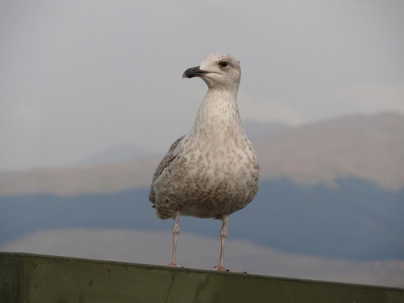 Inverary seagull.<br /> 9th April 2011.