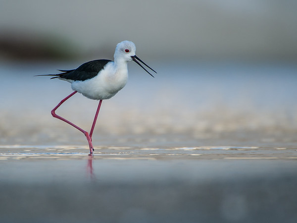 Black-winged Stilt.  Knowledge Village, Dubai.  Photo by: Stephen Hindley ©