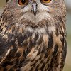 A horned owl at Bearazona, with very beautiful eyes.