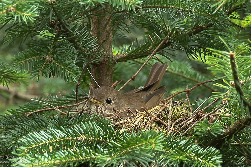 Bicknell's Thrush (Catharus bicknelli) brooding young on Stratton Mountain, VT