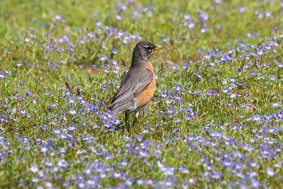 Robin in flowers-2891