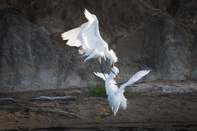 Snowy Egrets Spring 2018-13