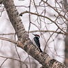 Male Hairy Woodpecker, Calgary