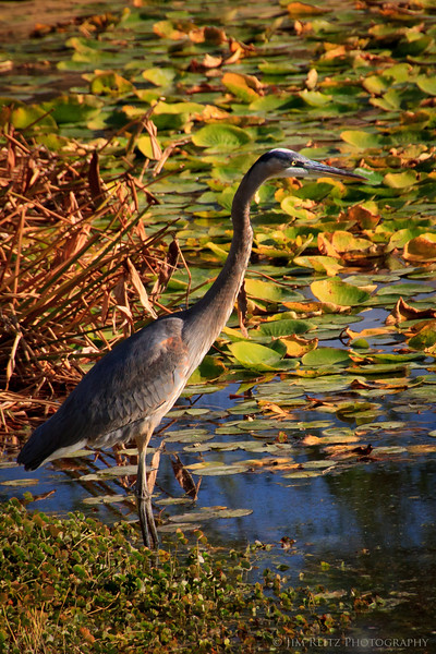 Great Blue Heron, SilverRock Resort golf course in La Quinta, California
