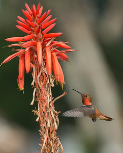 HUmming_bird_Laguna_CA-228