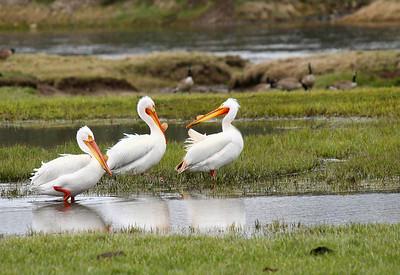 Pelicans in Hayden Valley