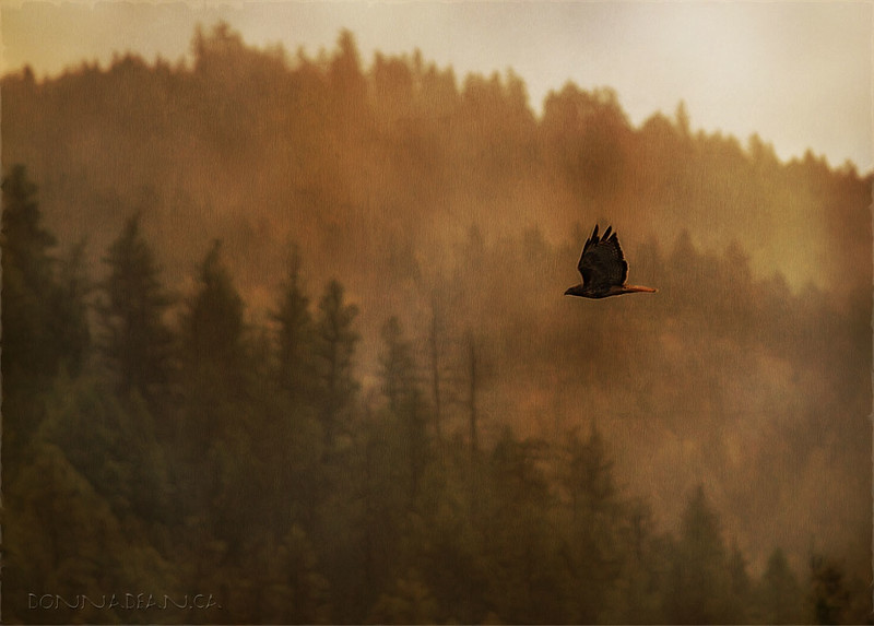 A Red-Tailed Hawk on a smoky summer day.