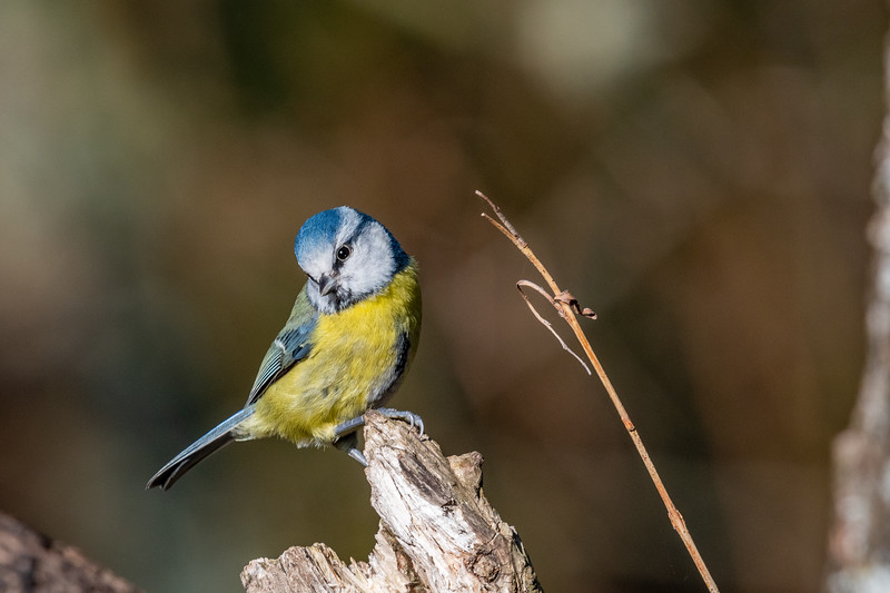 Blue Tit reposes on Ditchling Common