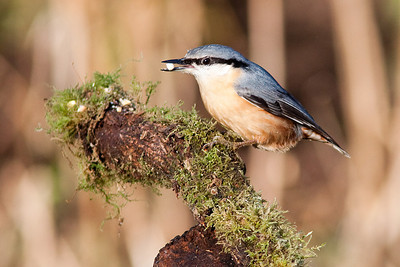 Nuthatch, Cannock Chase
