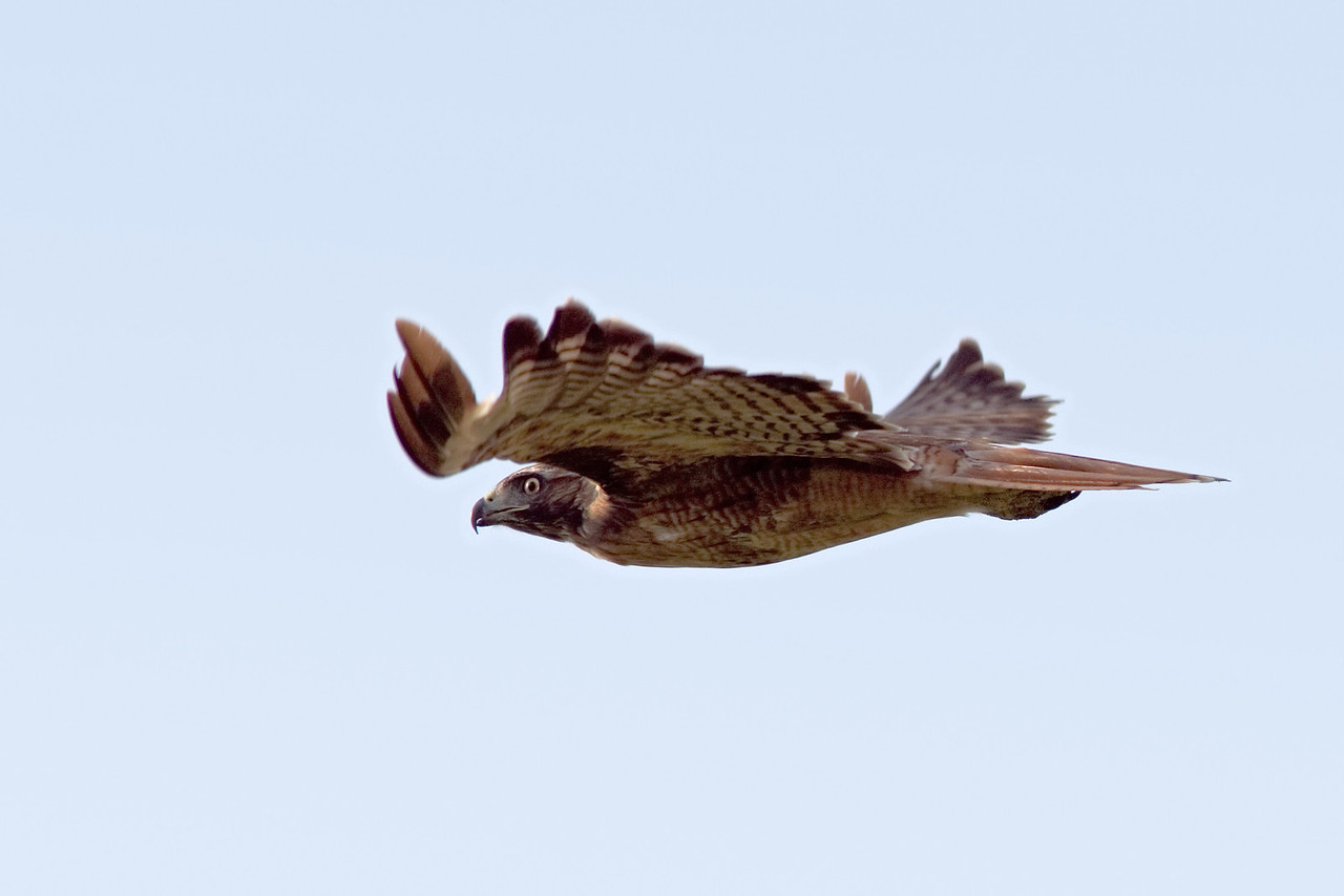 A Rufous Morph Red-Tailed Hawk in Flight
