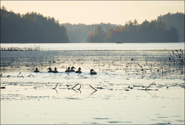 Black Ducks. Charlton Lake, Ontario.