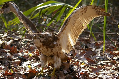 Stuffed Hawk