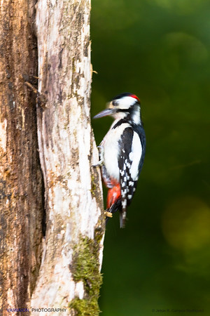 """Great spotted woodpecker """"drumming"""". The strong and long-range drumming is one of the best known features of this bird. The great spotted woodpecker hits with extraordinary speed, and at short 12 intervals, the surface area without bark of a dead tree or hollow. It is curious that this bird has fondness for a certain tree and comes to it to """"drum"""" one and once again. Both sexes drum and its significance could be purely a loving call between members of a couple. It is surprising how, during the drumming, it appears a lot of sawdust from the trunk being """"mistreated"""" by the bird."""