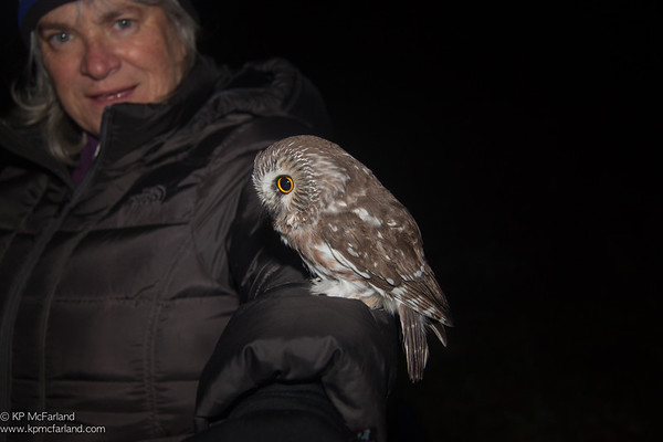 Northern Saw-whet Owl ready to take off after banding.