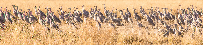 Lesser sandhill cranes lining up in formation to fly to Northern Canada.  They were in Colorado  a week later.