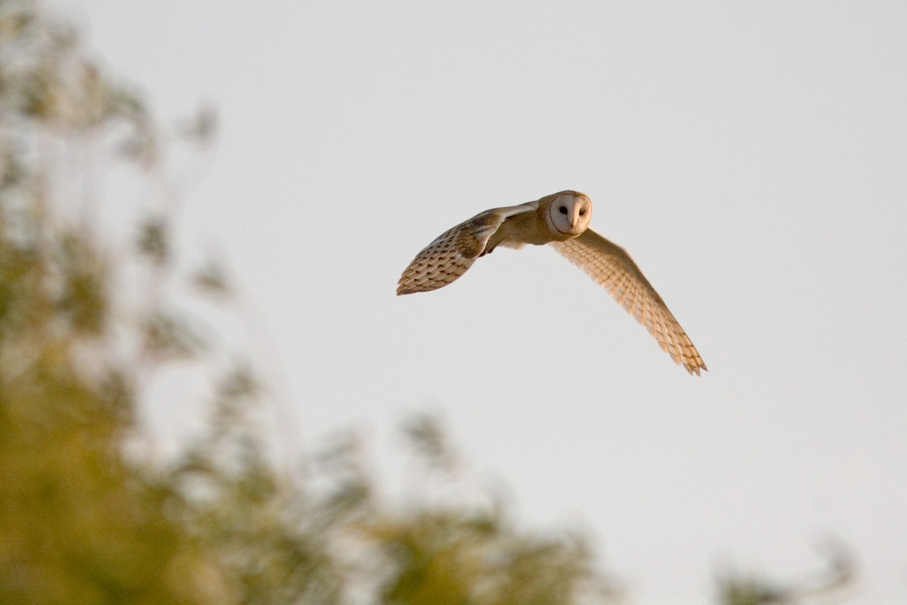 Barn Owl in Fliight