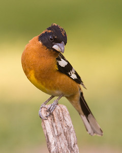 Portrait of a Black-headed Grosbeak I