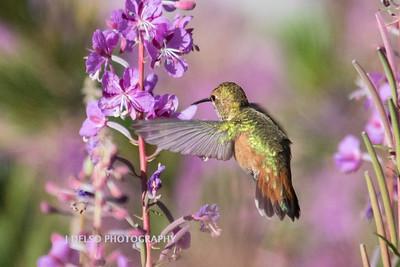 Rufous Hummingbird and Fireweed-2