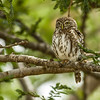 Pearl spotted owl at Satao Tented Camp, Tsavo Est, Kenya.  Photo by Stephen Hindley