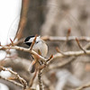 Black Capped Chickadee, Inglewood Bird Sanctuary