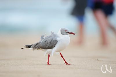 Strandläufer - Strandloper