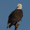 Banded Bald Eagle, Waterloo, AL 2010