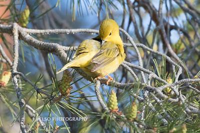 Yellow Warbler-6788