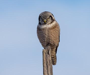 Grumpy Hawk Owl