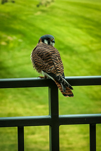 Kestrel on my balcony - Palm Springs, California