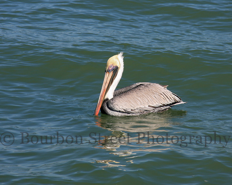 Pelicans at Port Aransas Jetty