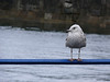Greenock seagull.<br /> 22nd June 2008