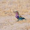 Gabelracke, Lilac-breasted Roller, Coracias caudatus, Savuti, Chobe-Nationalpark, Botswana, Botsuana, Savuti Game Reserve, Botswana, Botsuana