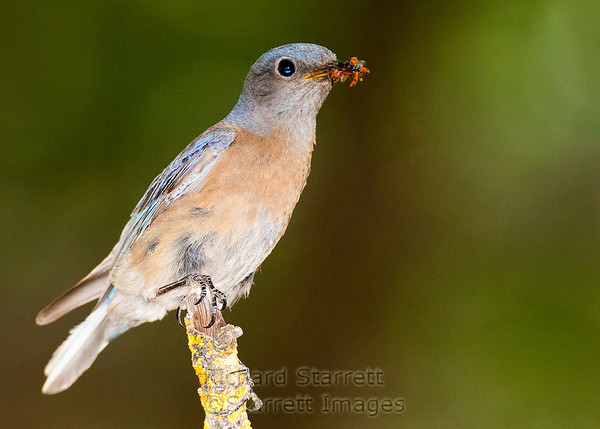 Female Western Bluebird with mouth full of ladybugs