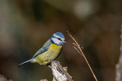 Blue Tit poses on Ditchling Common